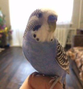 Продам ручного попугая в добрые и заботливые руки
