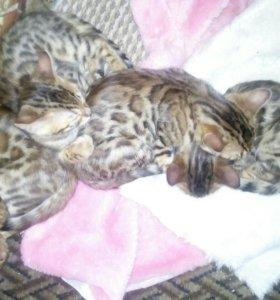 Кошечки бенгальские