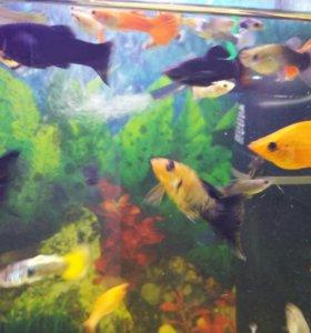 Рыбки. Гуппи и моллинезии