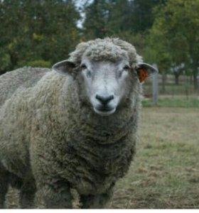 Бараны овцы  Матки и Ягнята
