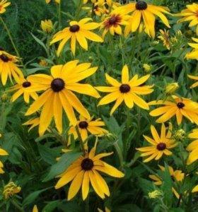 Рудбекия. Желтая садовая