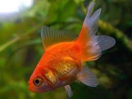 Продам трёх золотых рыбок