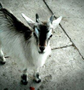 Козлики для случки от молочных коз 3-4 л