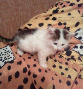 Котёнок(кот) 1.5 месяца