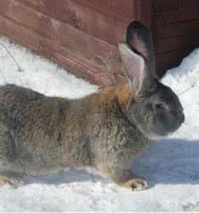 Кролики(ризен,калифорниец,бабочка,мясо кролика)
