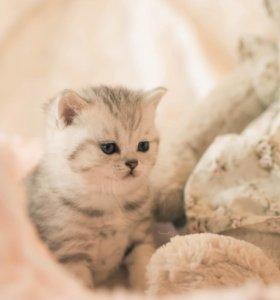 Шотландские котята модных окрасов