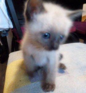 котята тайской породы