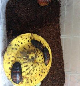 Мадагаскарские тараканы,штучно или все сразу 4 шт.