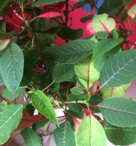 Цветы комнатные растения Пуансеттия Рождественская