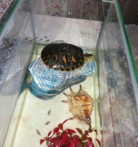 Черепаха красноухая вместе с аквариумом