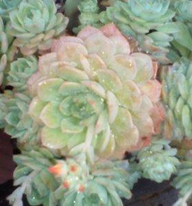 Каменная роза цветок