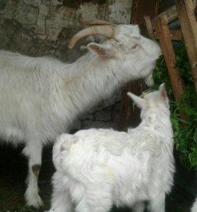 Продаю дойную козу, срочно!