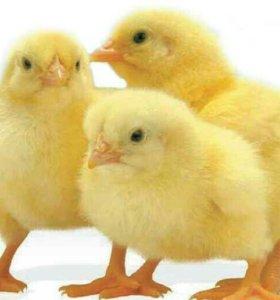 Цыплята недельные бройлерные и несушки