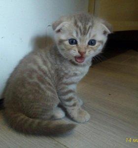 Продается шотландский котенок торг