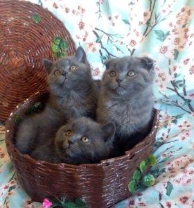 Шотландские чистокровные котята (фолд, страйт)