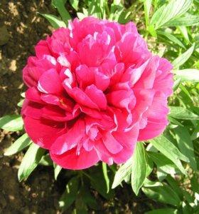 Пион красный (садовое растение)