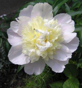 Пион белый (садовое растение)