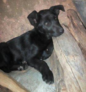 Отдам щенка в добрые руки,возраст около 2,5 месяца