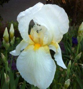 Ирис (садовое растение)