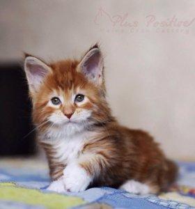 Котик Мейн кун красный мраморный с белым. Питомник