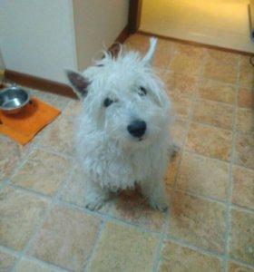 Вязка West highland white terrier