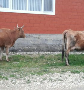 Две карова..один с теленко