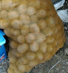 Картофель семенной сетка
