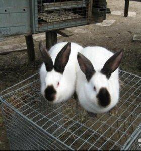 Чистопородные калифорнийские кролики