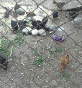 Цыплята цветные домашние