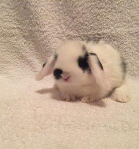 Арнольд вислоухий кролик