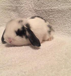 Шустрик вислоухий кролик