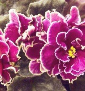 Комнатные цветы фиалка