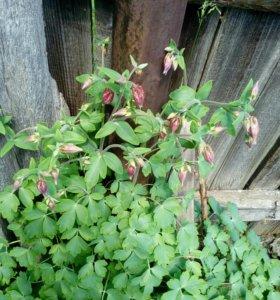 Продам отростки садового цветка Аквилегия