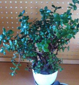 Толстянка-денежное дерево