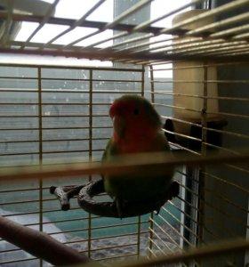 Попугай- неразлучник