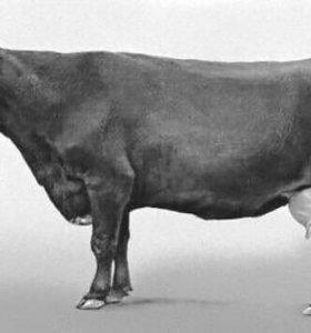 Продается стельная корова