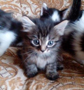 Отдам котят, мама БРИТАНСКАЯ КОРОТКОШЕРСТНАЯ КОШКА