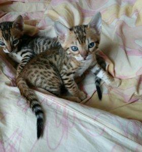 Бенальские котята