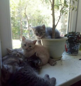 Домашние котята, д.р.5.04.17г.
