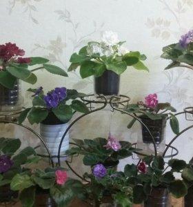 Продам цветущие фиалки