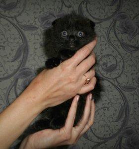 Британские вислоухие котята