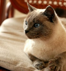 Кошка Сима в добрые руки