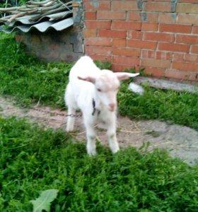 Зааненские козы и козлята