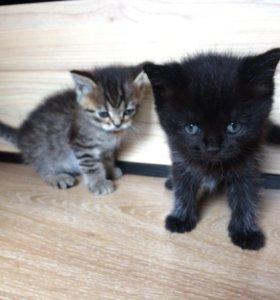 Котята британские