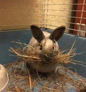 Кролик Маркиз