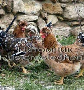 Инкубационное яйцо и цыплят Русской хохлатой пород