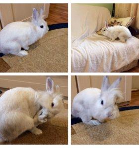 Декоративный кролик карликовый