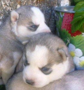 Сибирская хаски щенки