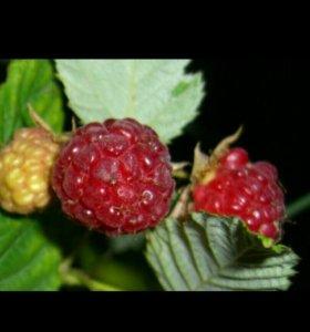 Малина,корни,саженец,растения, ягоды в сезон