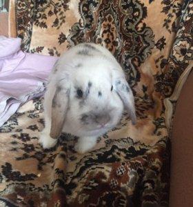 Кролик 6 месяцев СРОЧНО